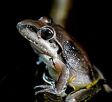 Broad Palmed Frog - Litoria latopalmata  by Normf