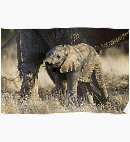 Samburu Elephant Poster