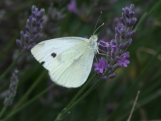 Oh Lavender You Smell So Sweet! by Gabrielle  Lees