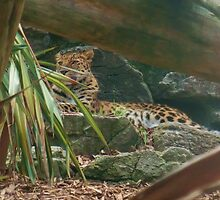 Proud Leopard at Colchester Zoo by MichelleRees