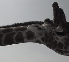 Stretchy Giraffe at Colchester Zoo by MichelleRees
