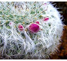 Every cactus has it's flower by Gozza