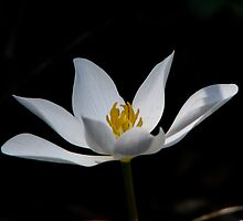 White Bloodroot by swaby