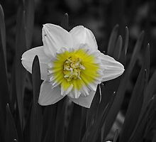 Daffodil Also by swaby