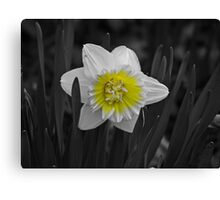 Daffodil Also Canvas Print