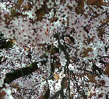 The blossoms of spring by Heidi Mooney-Hill