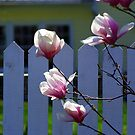 Magnolias on the Fence by Ruth Lambert
