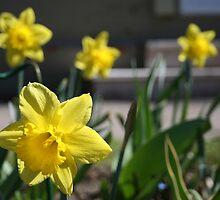 Spring has Sprung - Dainty Daffodils by SMerlin