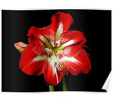 Passion Red Amarylis Poster