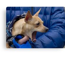 Screaming Chihuahua Canvas Print