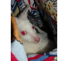 Albino Wallaby Photographic Print