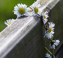 Daisied Spring :) by Evogance