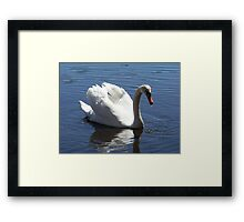 A male Mute Swan after a drink. Framed Print