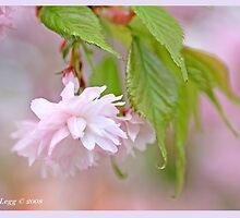 Cherry blossom A by pogomcl