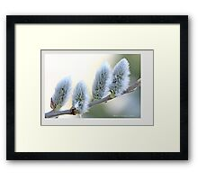 Pussywillow blooms Salix A Framed Print