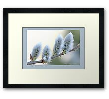 Pussywillow blooms Salix  B Framed Print