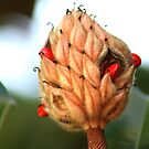 Magnolia Pod - Seeds for new life! by Ruth Lambert
