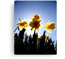 Daffodils Host Canvas Print