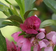 Minature peach tree in bloom; My Garden, La Mirada, CA USA, Lei Hedger Photography All Right Reserved by leih2008