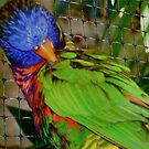 Lorikeet by Tara Filliater