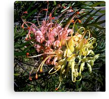 "Grevillea ""Peaches & Cream"" Canvas Print"
