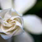 Gardenia Glow by Katrina Freckleton