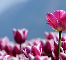 Tulips in the Valley by DThiessen
