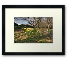Daffodil path Framed Print
