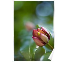 Port Wine Magnolia Flower Poster