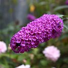 Butterfly Bush by Keith G. Hawley
