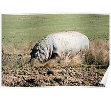 Hippopotamus 3 Poster