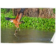 black collared hawk with a fish Poster