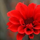 Red Dahlia, Royal Botanical Gardens Melbourne by Leigh Penfold