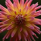 Pink and Yellow Dahlia, Alfred Nicholas Gardens by Leigh Penfold