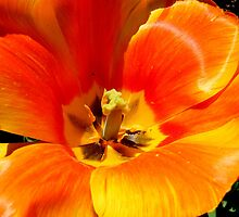 Hybrid Tulips by barnsis
