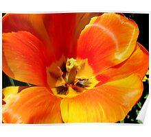 Hybrid Tulips Poster