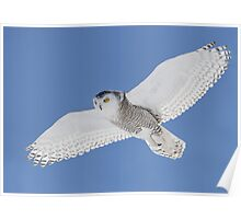 White On Blue / Snowy Owl Poster