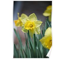 Bright Yellow Daffodil in Spring Poster