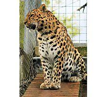 Leopard 5 Photographic Print