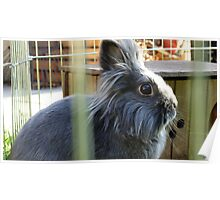 Grey rabbit Poster