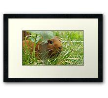 Guinea pig hidden in the grass Framed Print