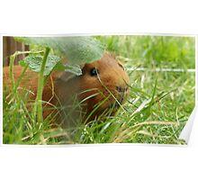 Guinea pig hidden in the grass Poster