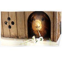 Super cute guinea pig eating Poster