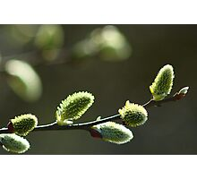 Closeup of buds  Photographic Print