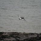 Oystercatcher in flight by Teuchter