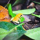 Golden Poison Dart Frog  by Jeanie93