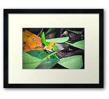 Golden Poison Dart Frog  Framed Print