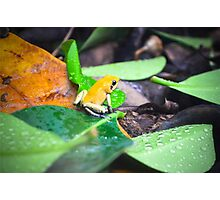 Golden Poison Dart Frog  Photographic Print