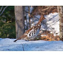 Ruffled Grouse Photographic Print