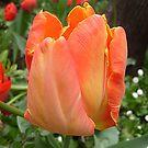 Tulip by Ana Belaj